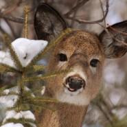 deer buck tongue